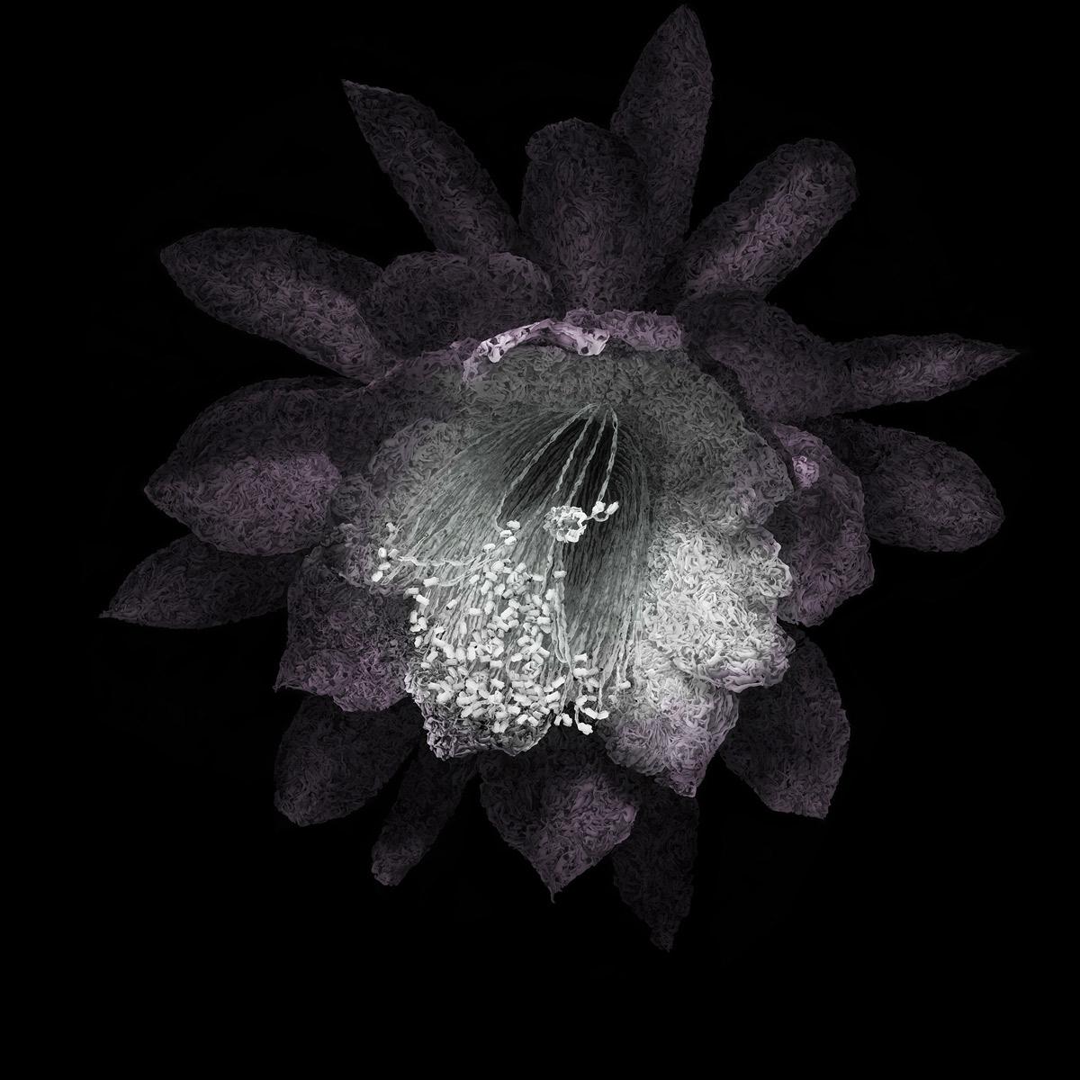 aaru-epiplyllum