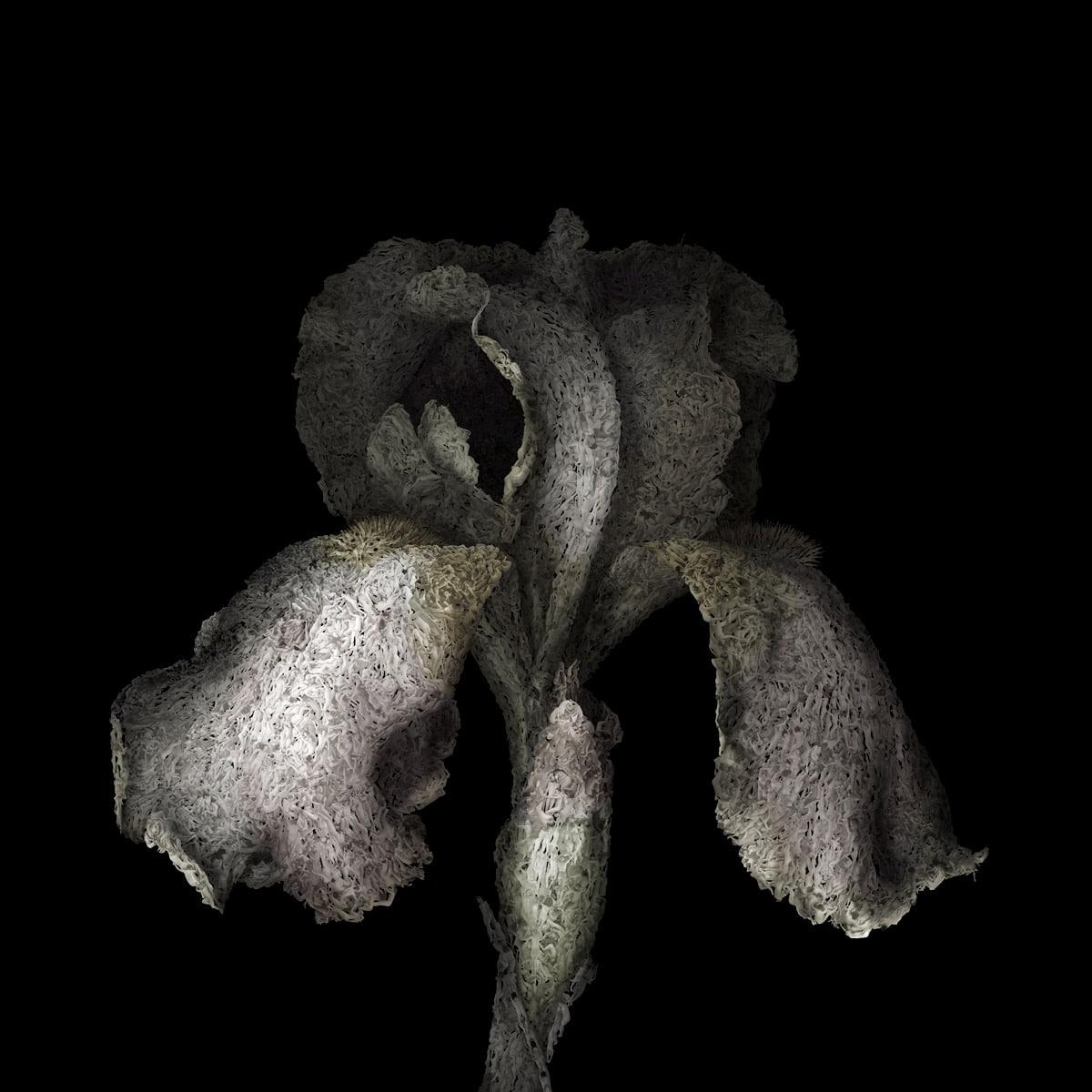 aaru-iris