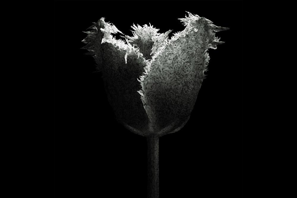 aaru-tulip-cover