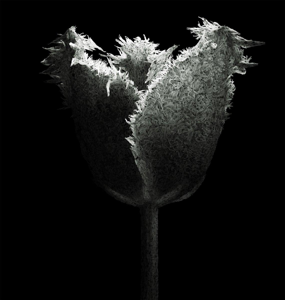 aaru-tulip
